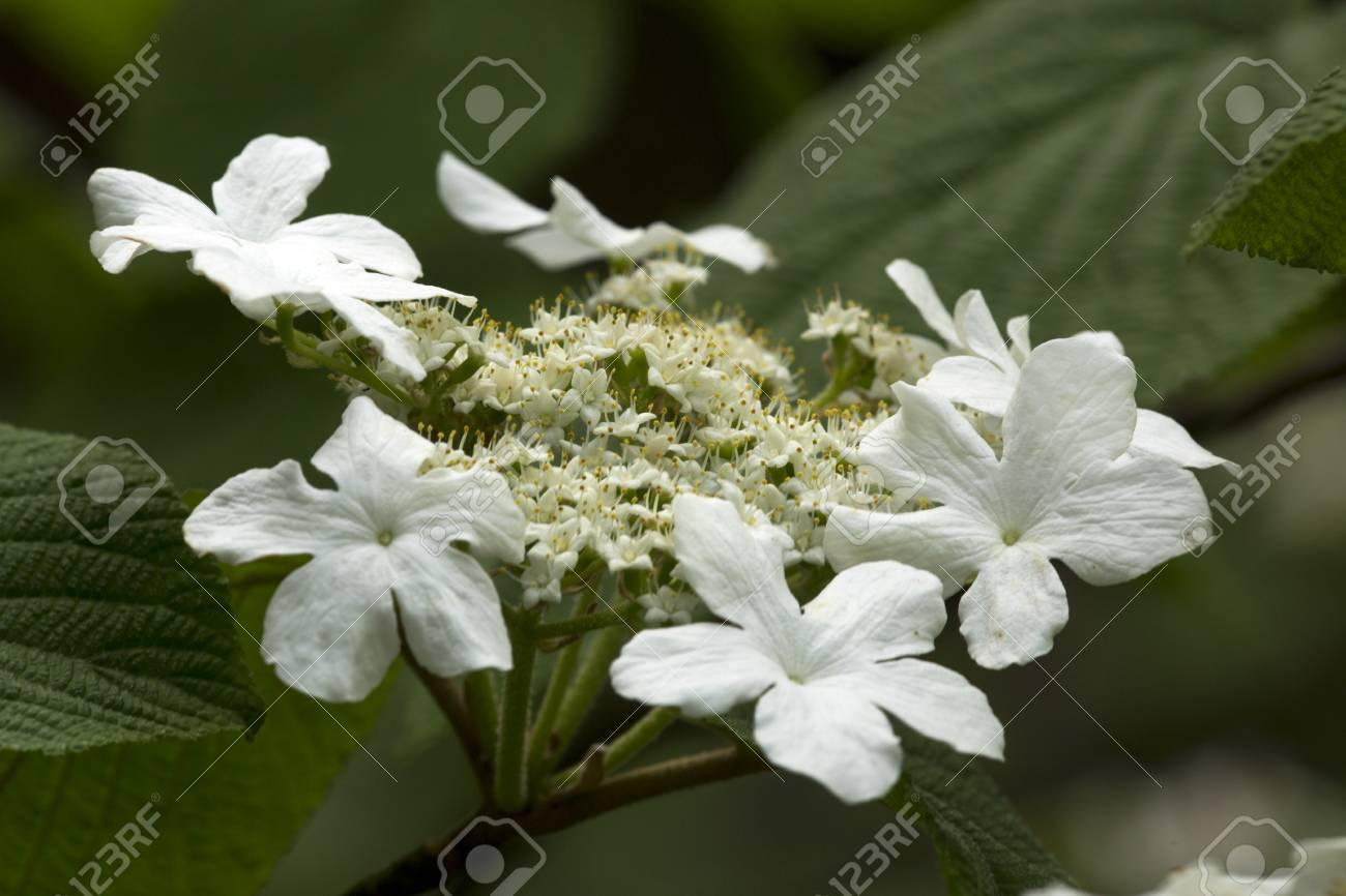 White flower clusters of hobblebush viburnum lantanoides in stock photo white flower clusters of hobblebush viburnum lantanoides in the woods at mt sunapee state park in newbury new hampshire mightylinksfo