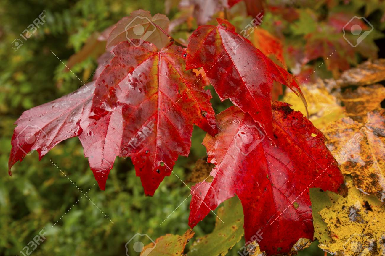 Red Fall Foliage Of A Red Maple Tree Seedling Acer Rubrum In