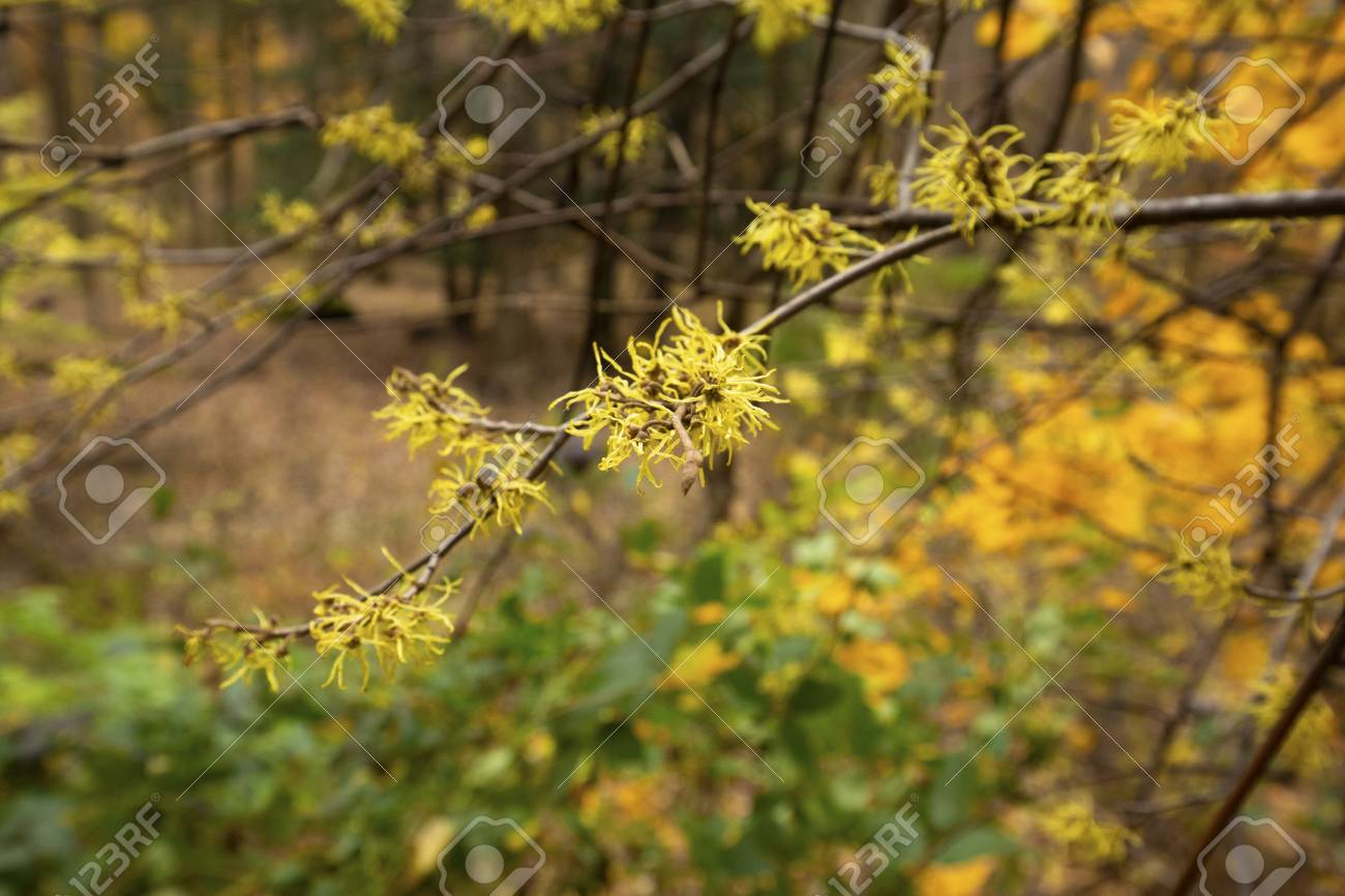 Late Fall Blooming Witch Hazel Flowers Hamamelis Virginiana