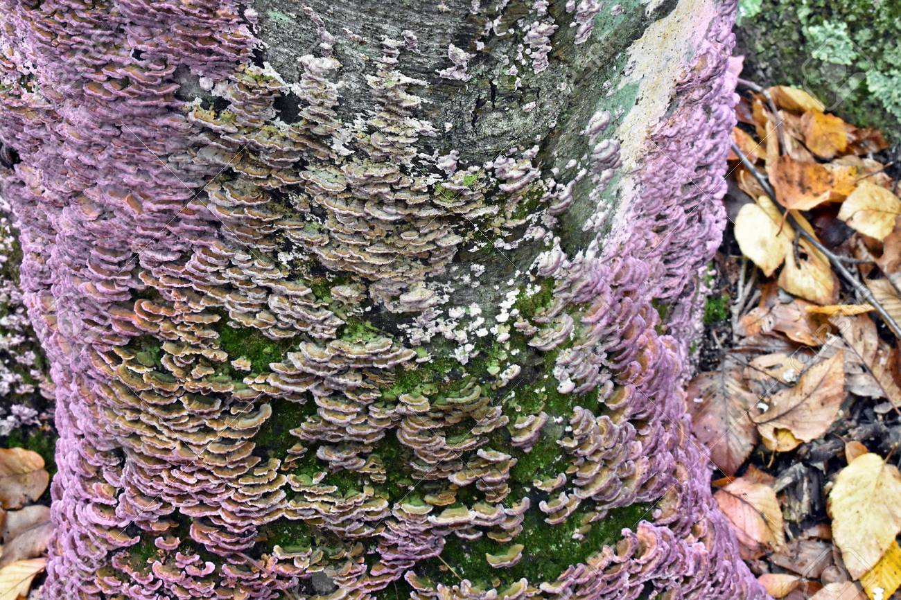 Image Photo Picture Tree Fungus Image Royalty Stock Free 87984093 And Purple