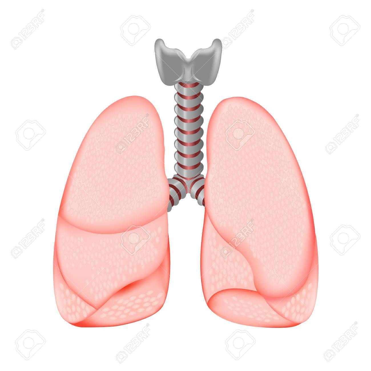 Human Lungs, Isolated On White Background, Vector Illustration Stock Vector - 11656634