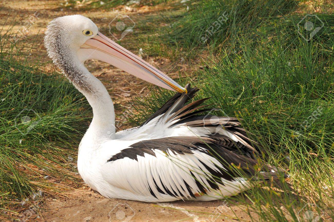 Australian pelican is preening feathers Stock Photo - 8154760