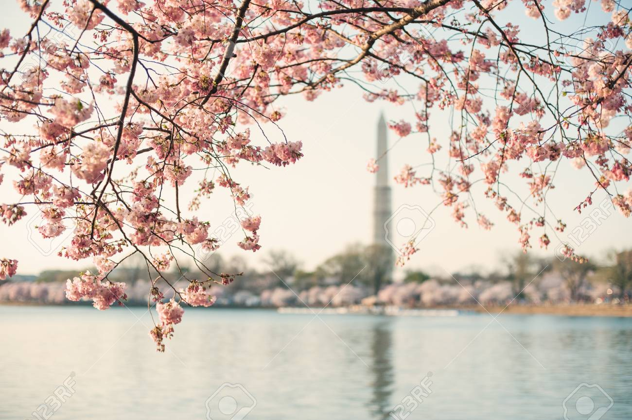 Un árbol De Flor De Cerezo Enmarca El Monumento A Washington. Fotos ...