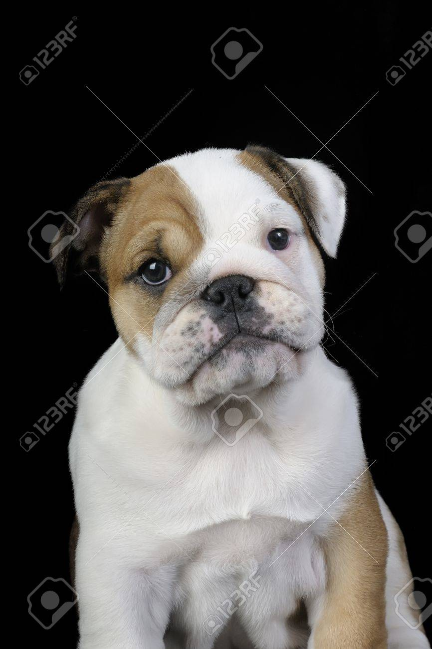 English Bulldog Puppy Sitting On Black Background Stock Photo Picture And Royalty Free Image Image 11937310