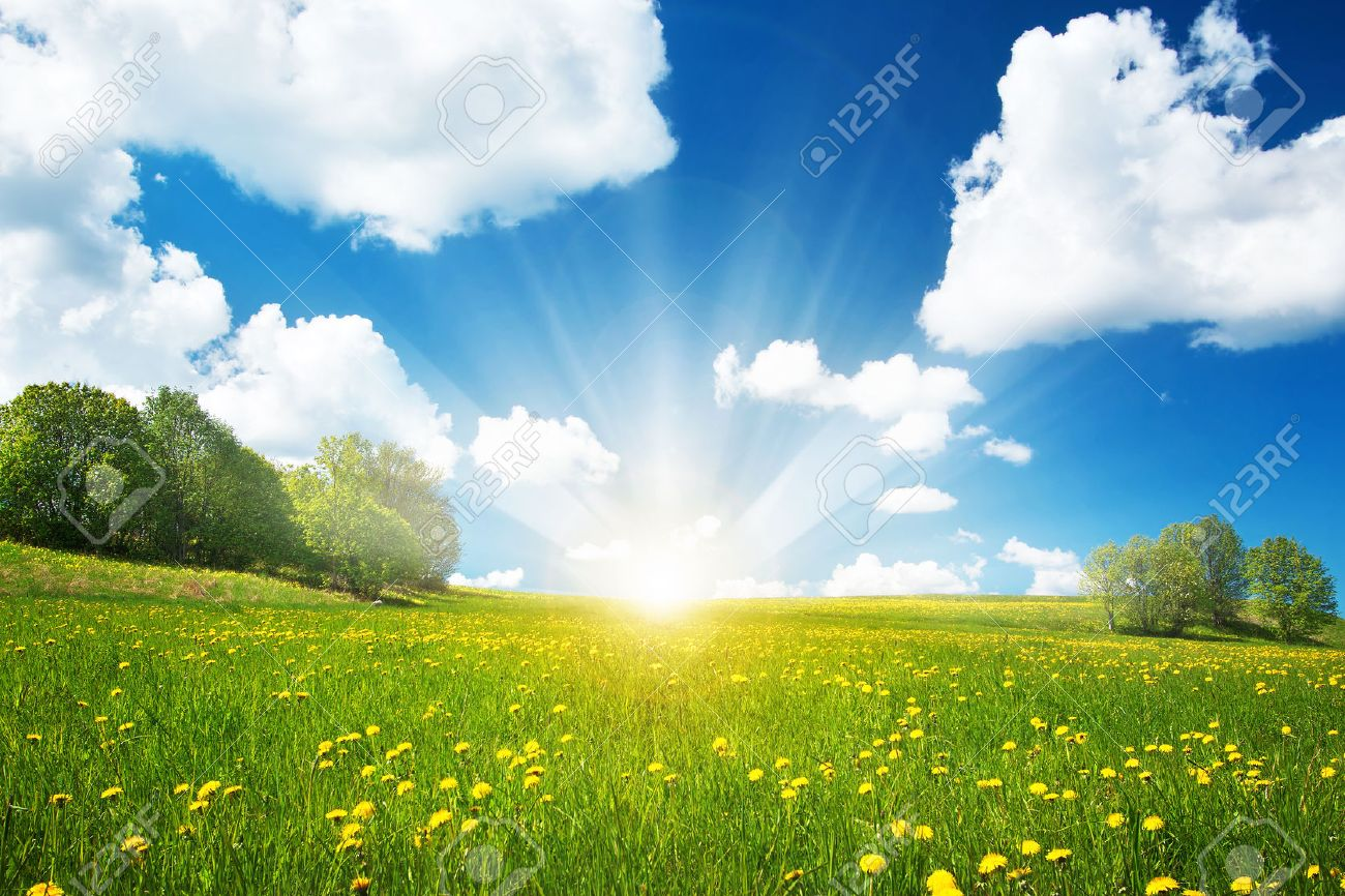 Field with yellow dandelions and blue sky - 51995537