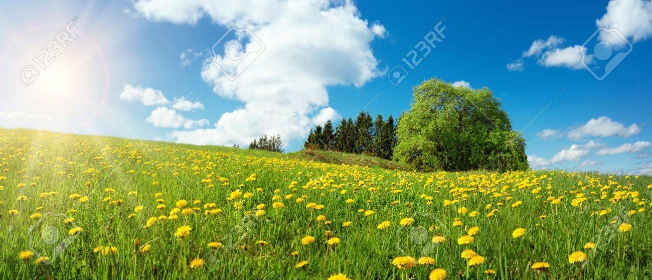 Field with dandelions and blue sky - 70203873