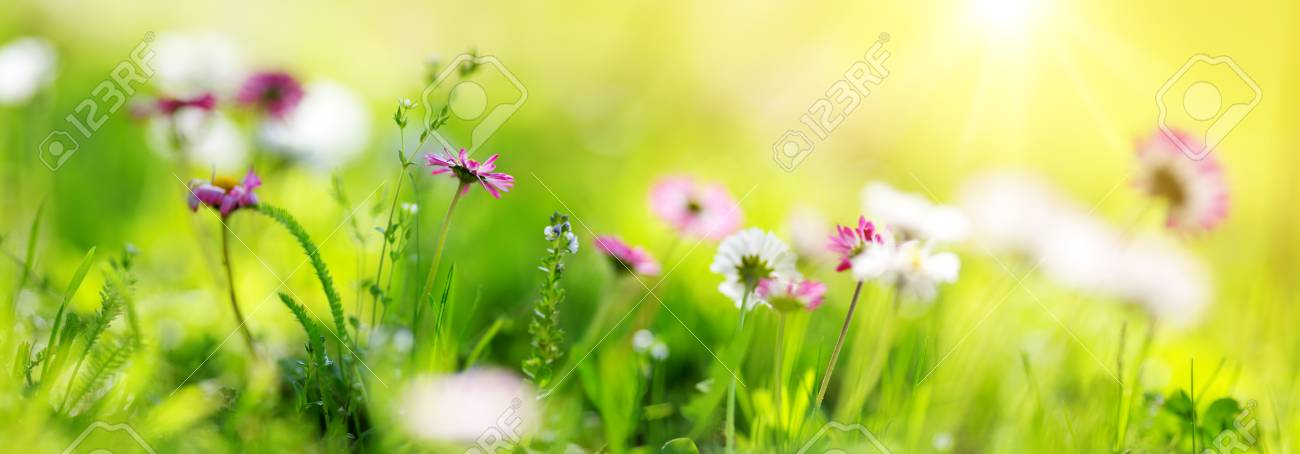 Field with dandelions. Closeup of yellow spring flowers - 79821305
