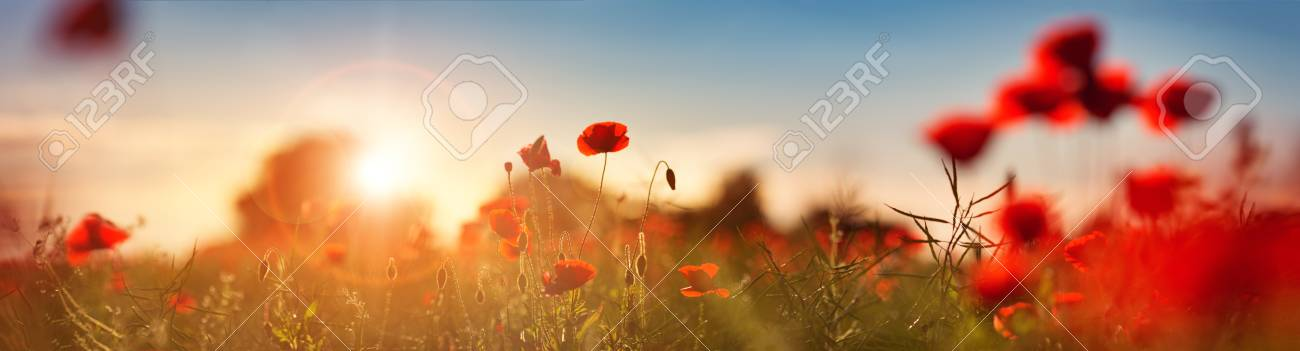 Beautiful poppy flowers on the field - 82435220