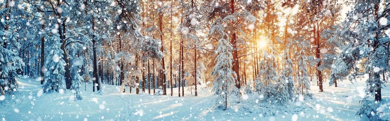 Pine trees covered with snow - 87552004