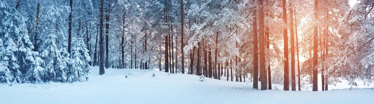 Pine trees covered with snow - 88681929