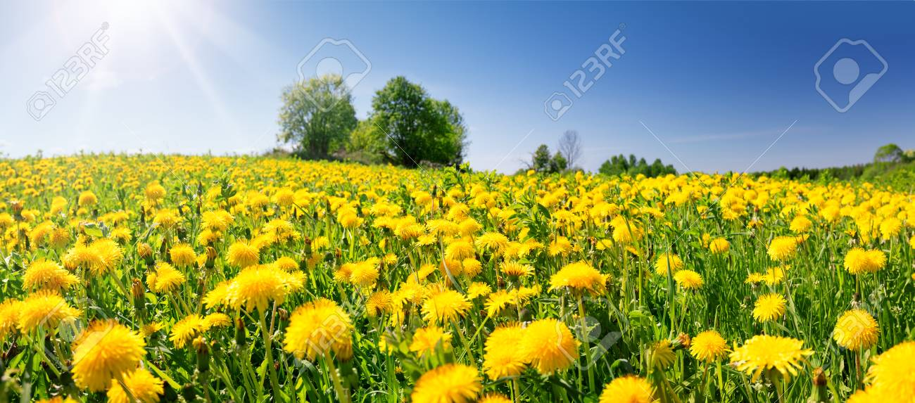 Field with dandelions and blue sky - 102321579