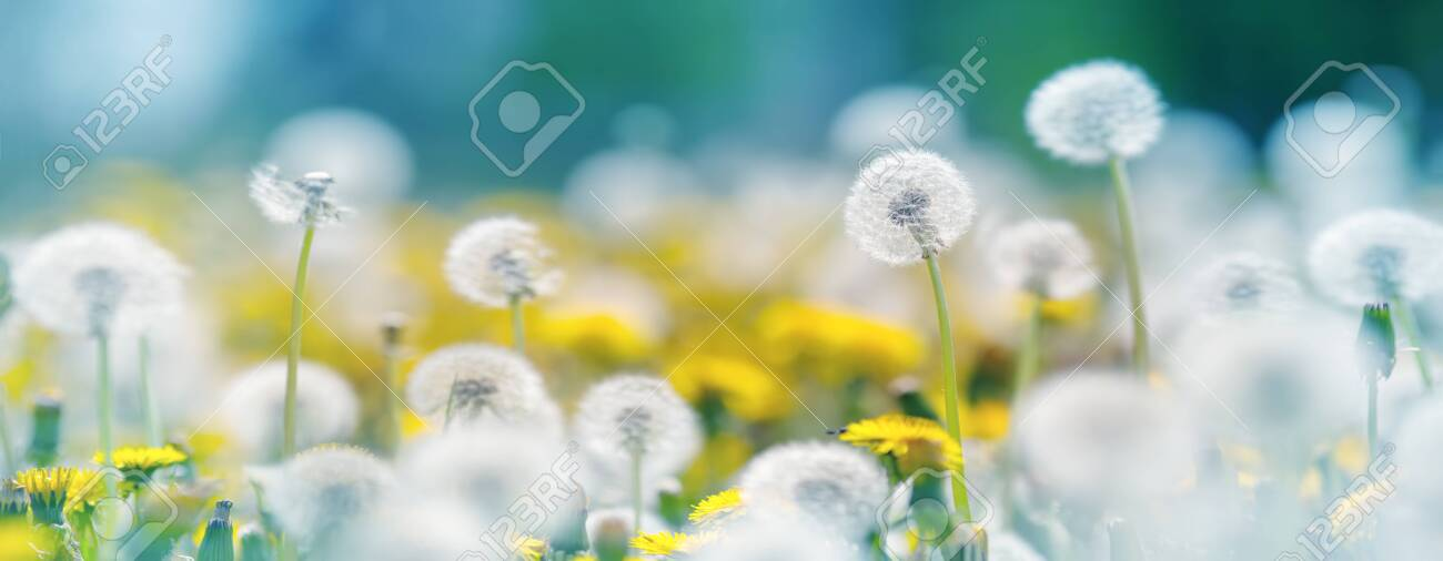 Field with dandelions and blue sky - 129789407