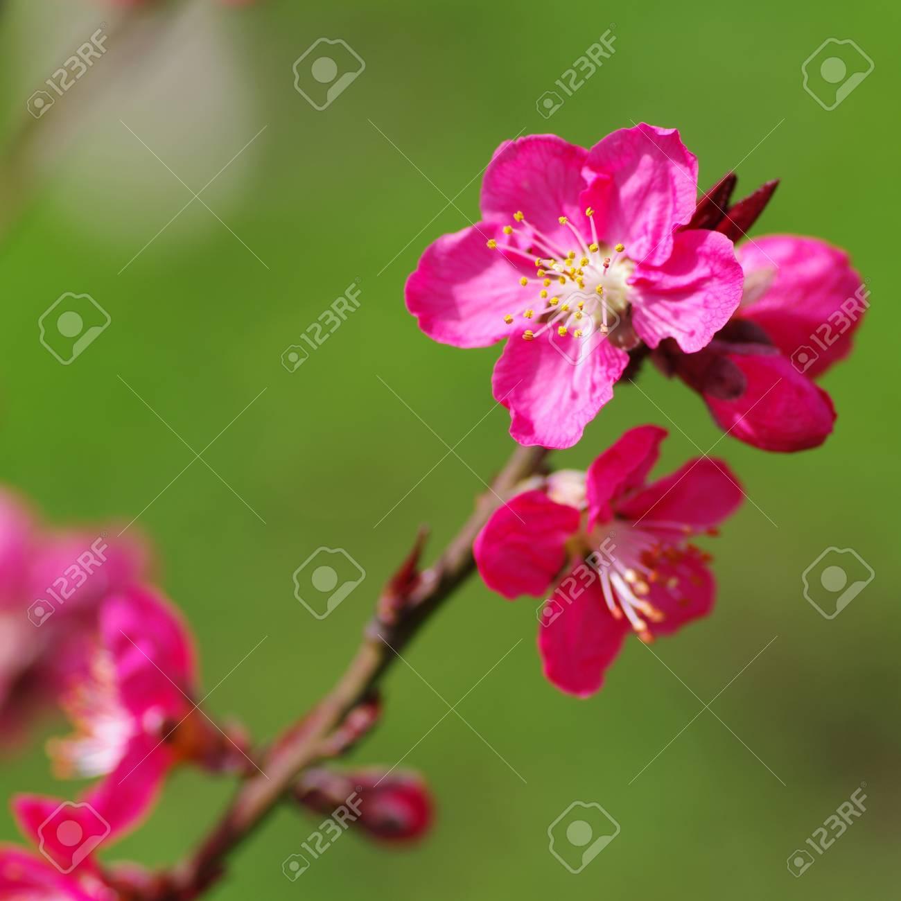 Bloom Dans La Fleur De Pecher Banque D Images Et Photos Libres De