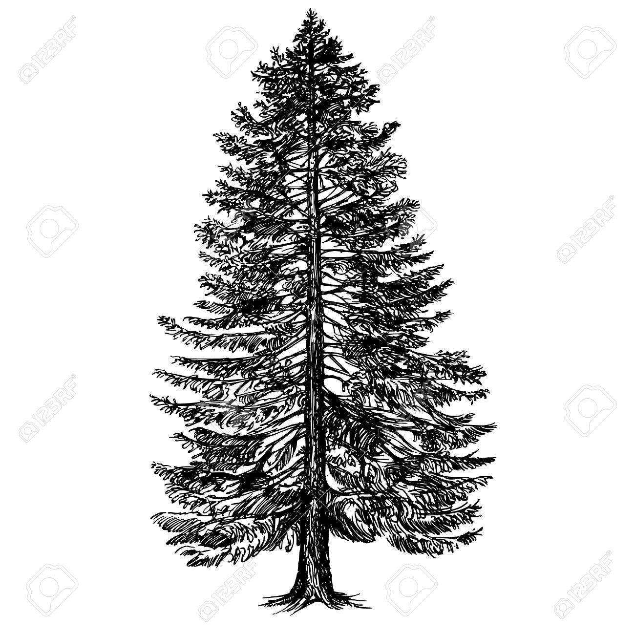 Hand drawn coniferous tree. - 67019102