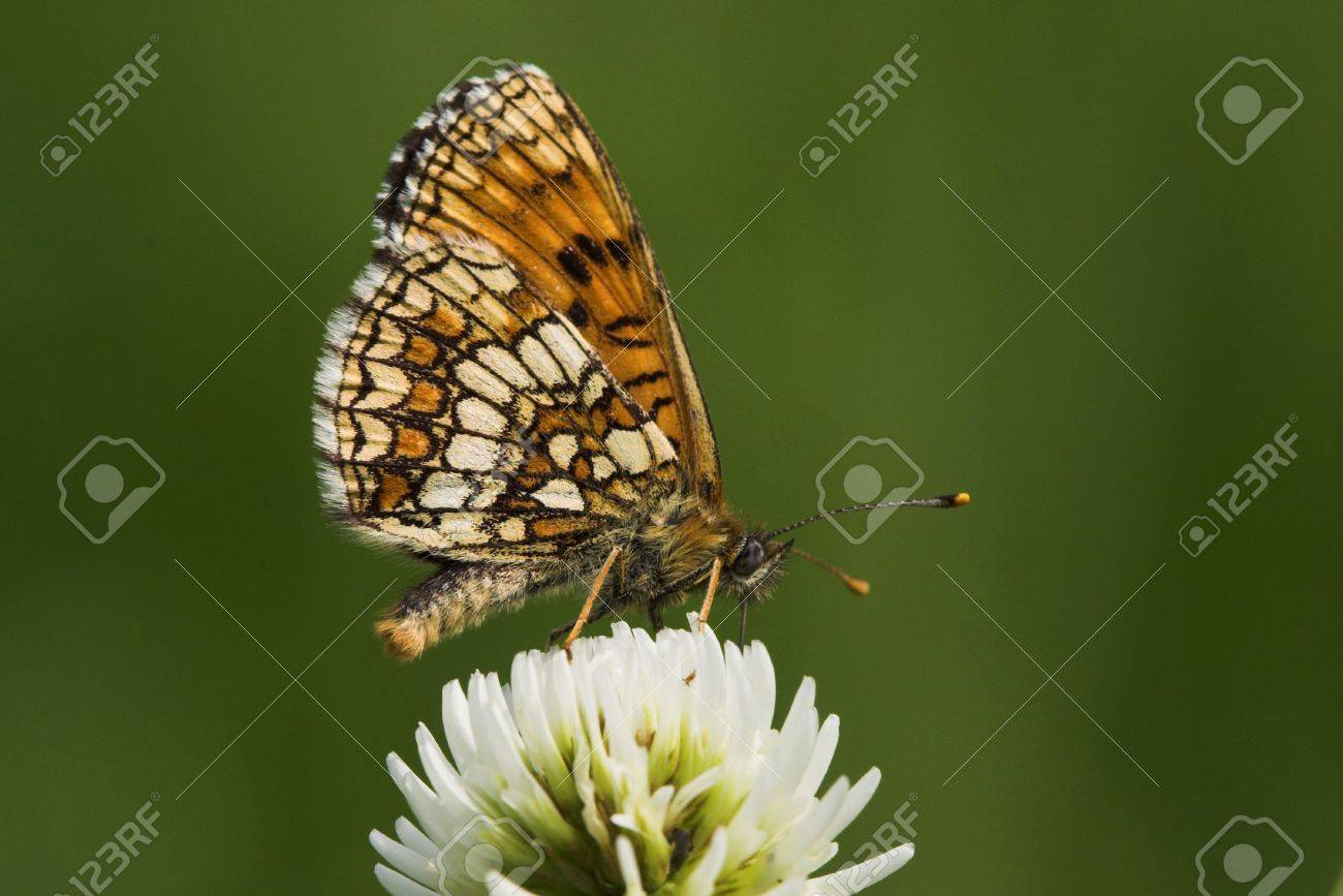 butterfly (melitaea athalia), sitting on white clover (trifolium repens) , very small depth of field Stock Photo - 291285
