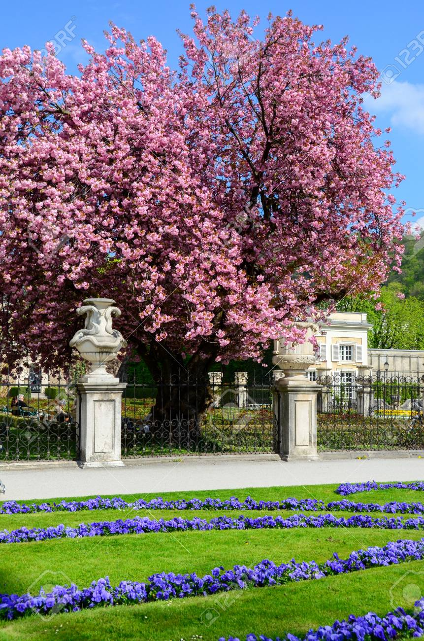 Charmant Cherry Blossom In Gardent From Austria Stock Photo   81807137