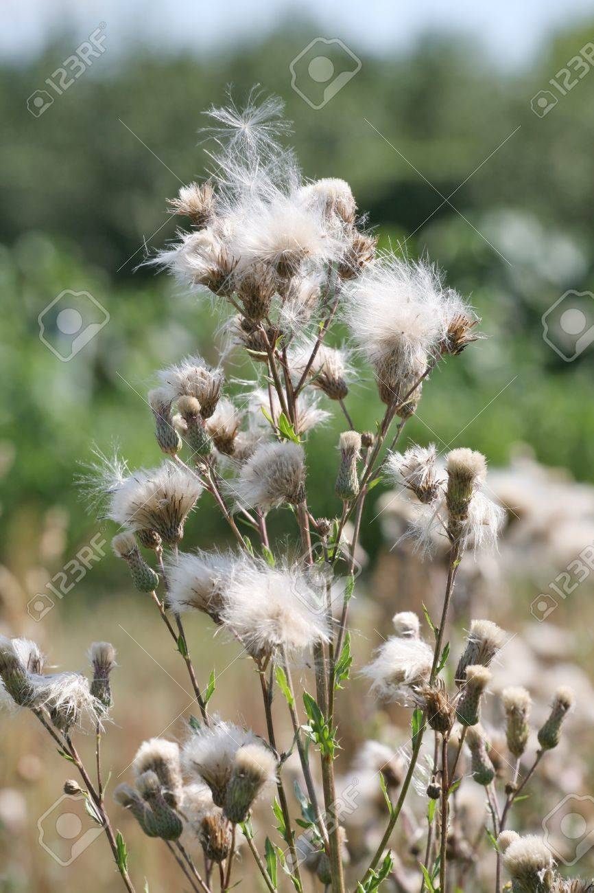 A thistle growing in a field Stock Photo - 14486374