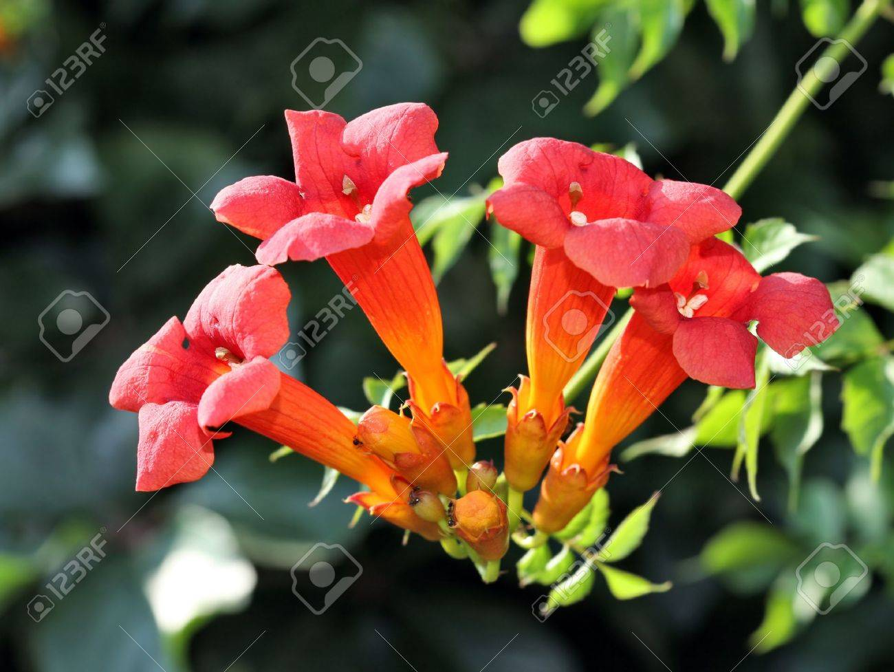 Trumpet Vine Flowers In Blossom Stock Photo Picture And Royalty