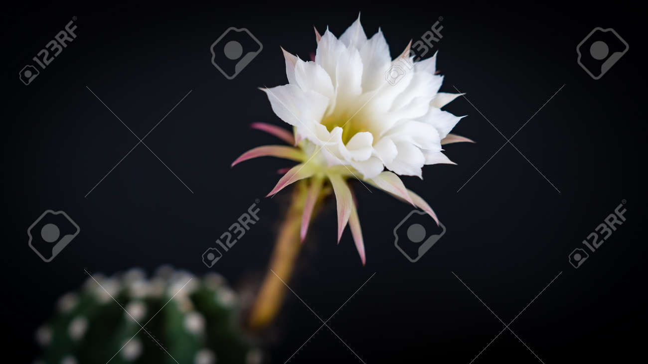 Beautiful cactus flower isolated on black background with field of depth. Copy space - 170682390