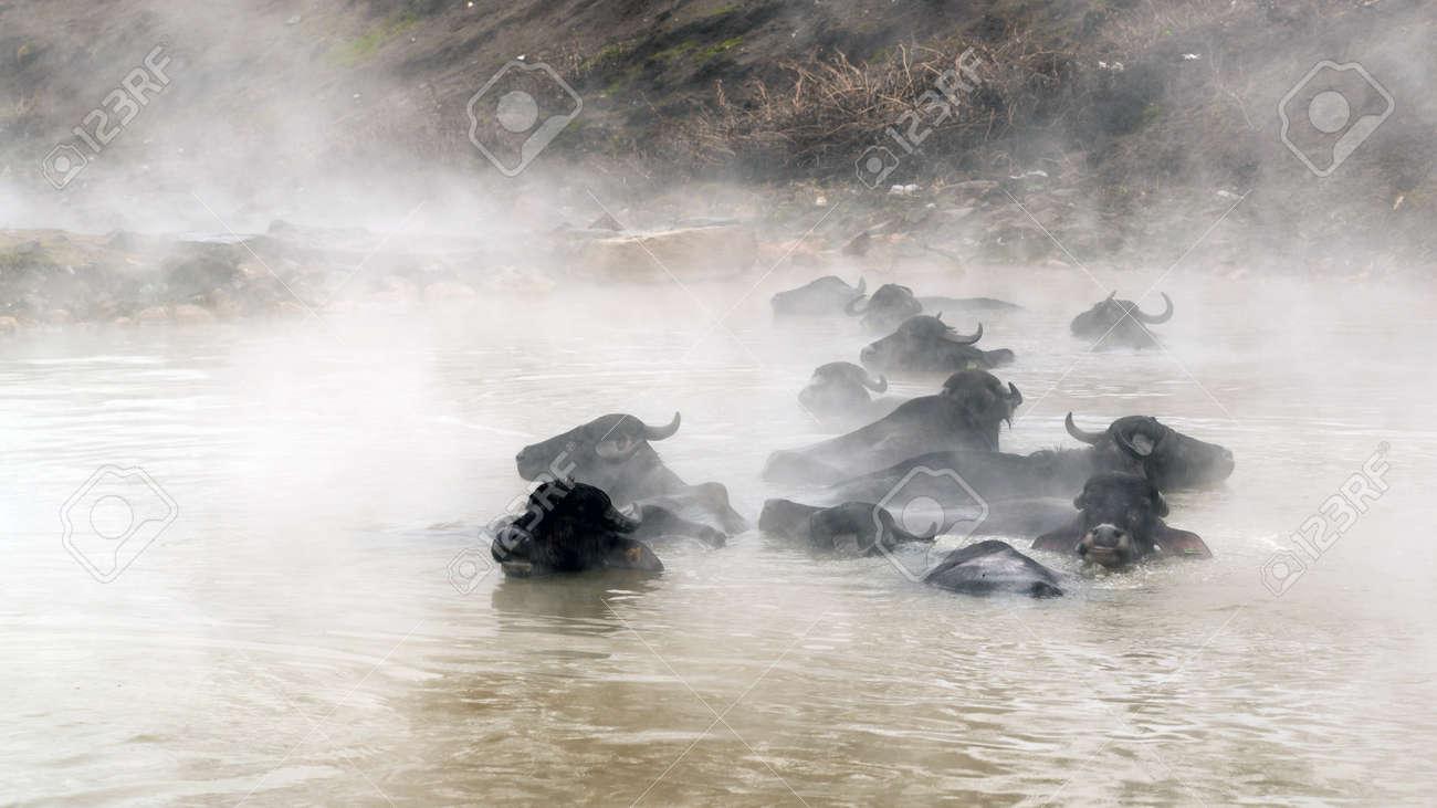 Guroymak, Bitlis, Turkey - Animals in thermal water with steam, animal shower - 170682432
