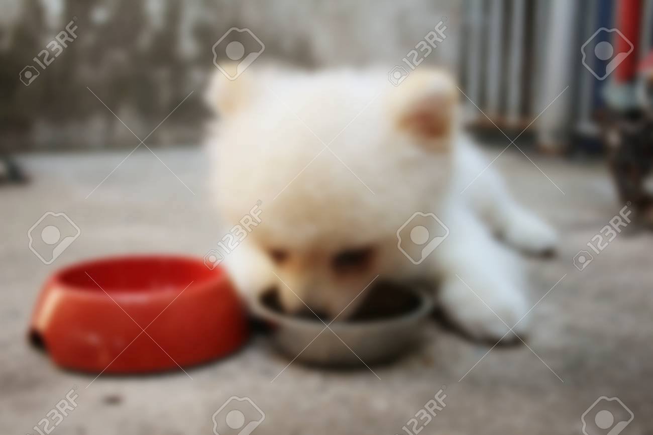 Blurred Of White Pomeranian Dog Eat Dog Food Stock Photo Picture