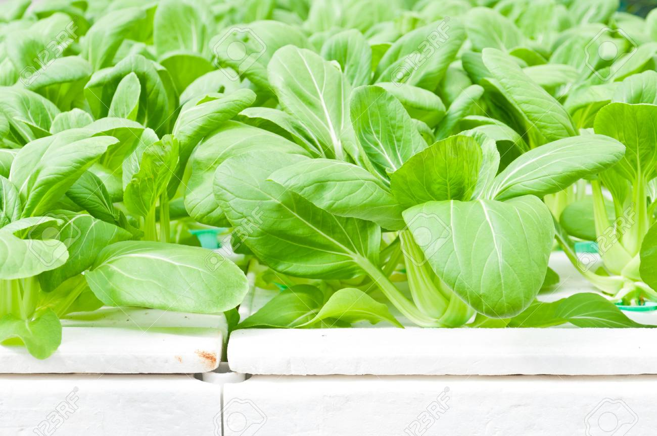 green leaf of soilless or hydroponic vegetable Stock Photo - 14837239
