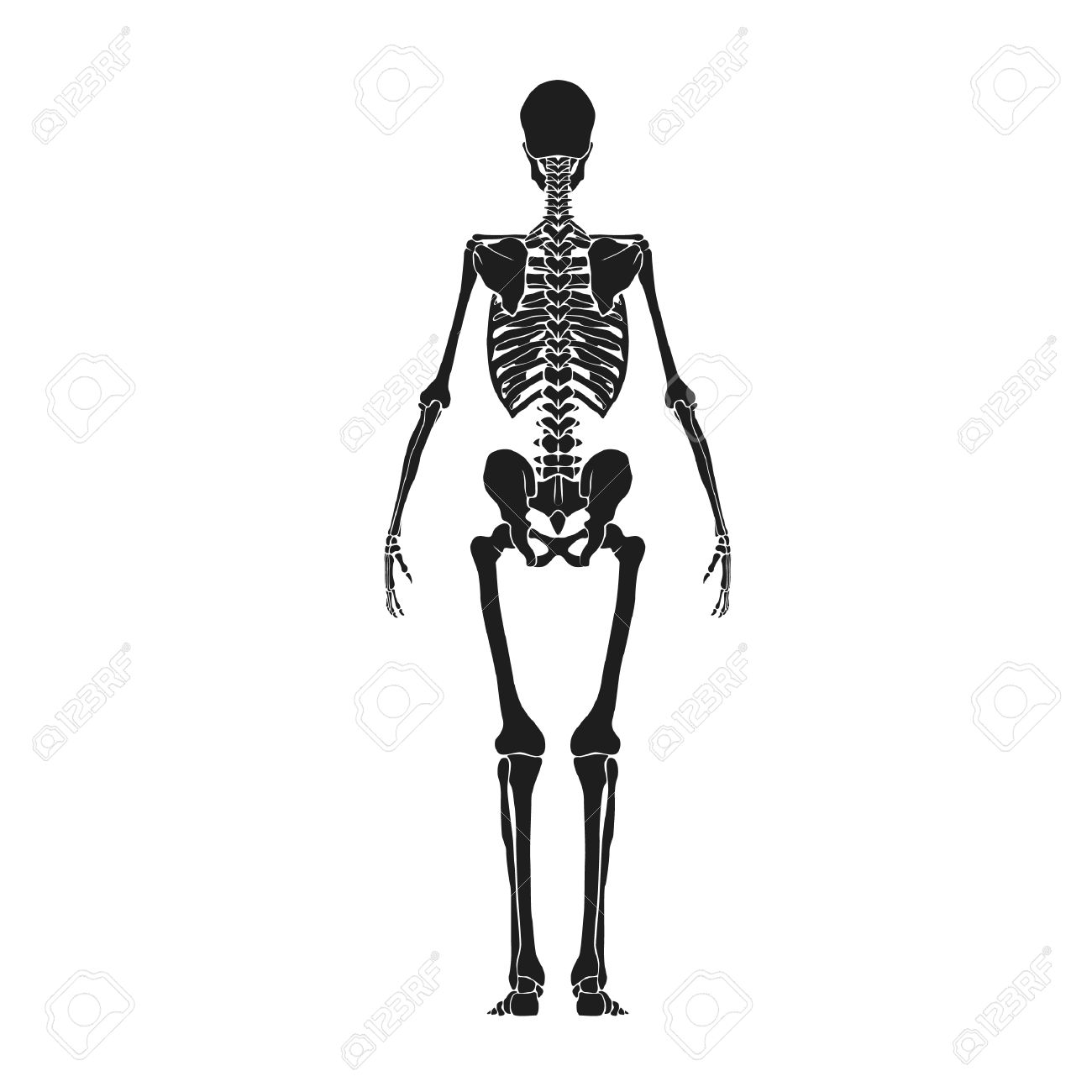 Back View Of Human Skeleton Royalty Free Cliparts Vectors And