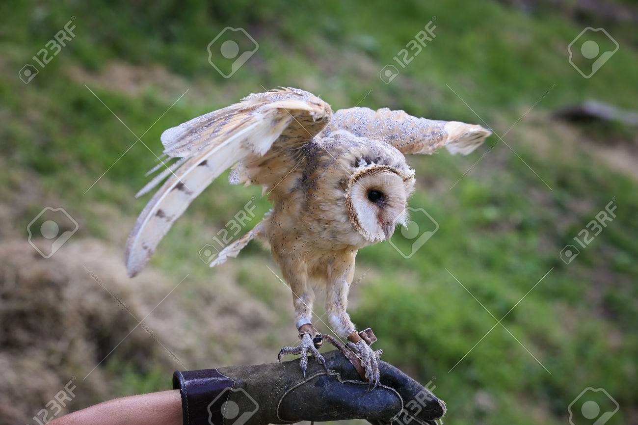 Barn Owl Finding Balance With Open Wings Falconry Stock Photo