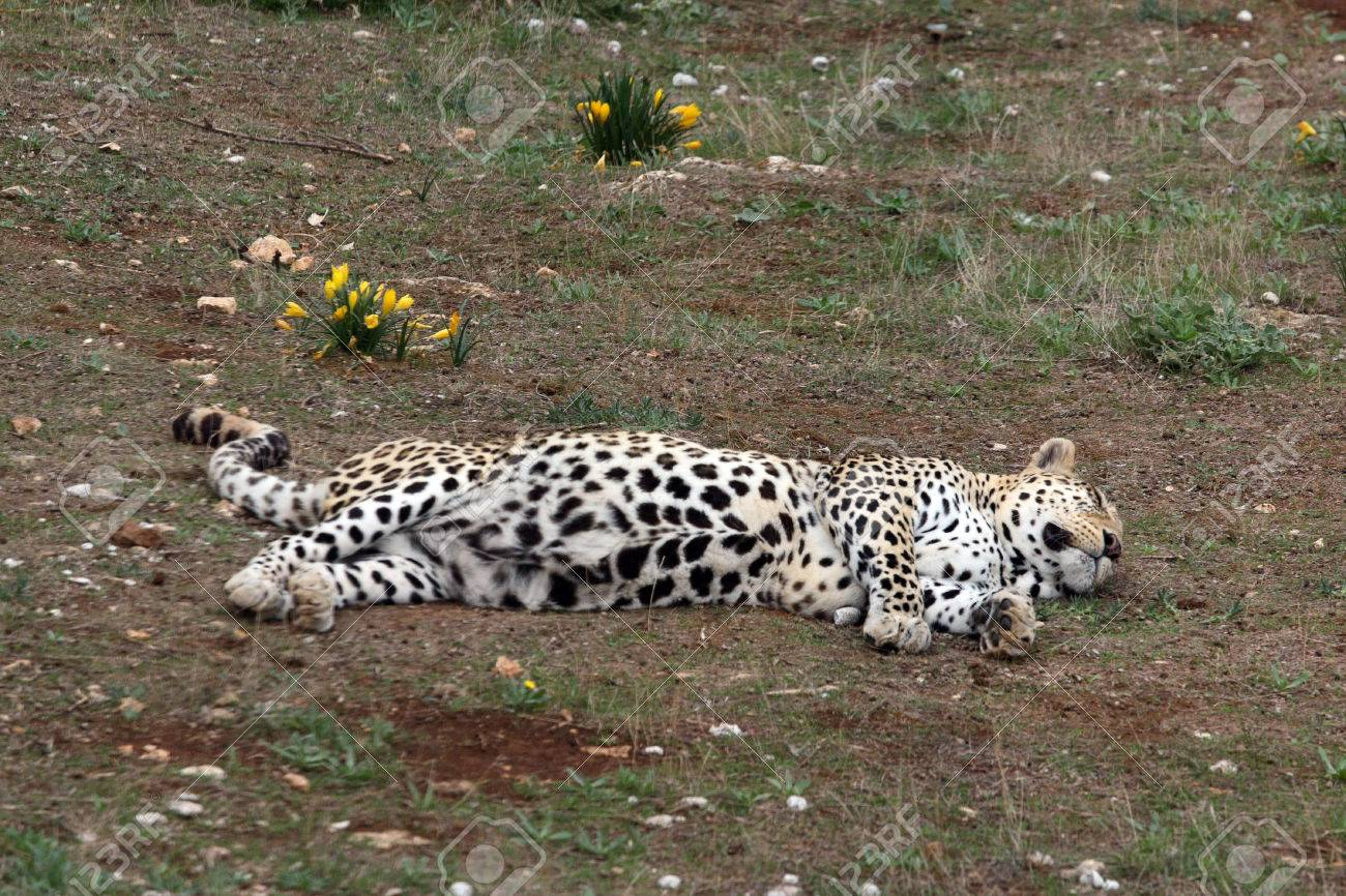 cheetah sleeping at zoo stock photo picture and royalty free image