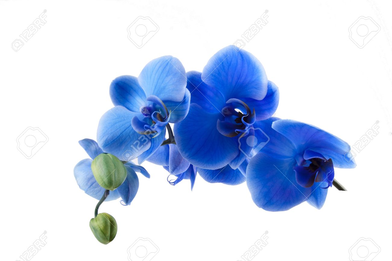 bouquet of blue orchid isolated on white background - 19986668