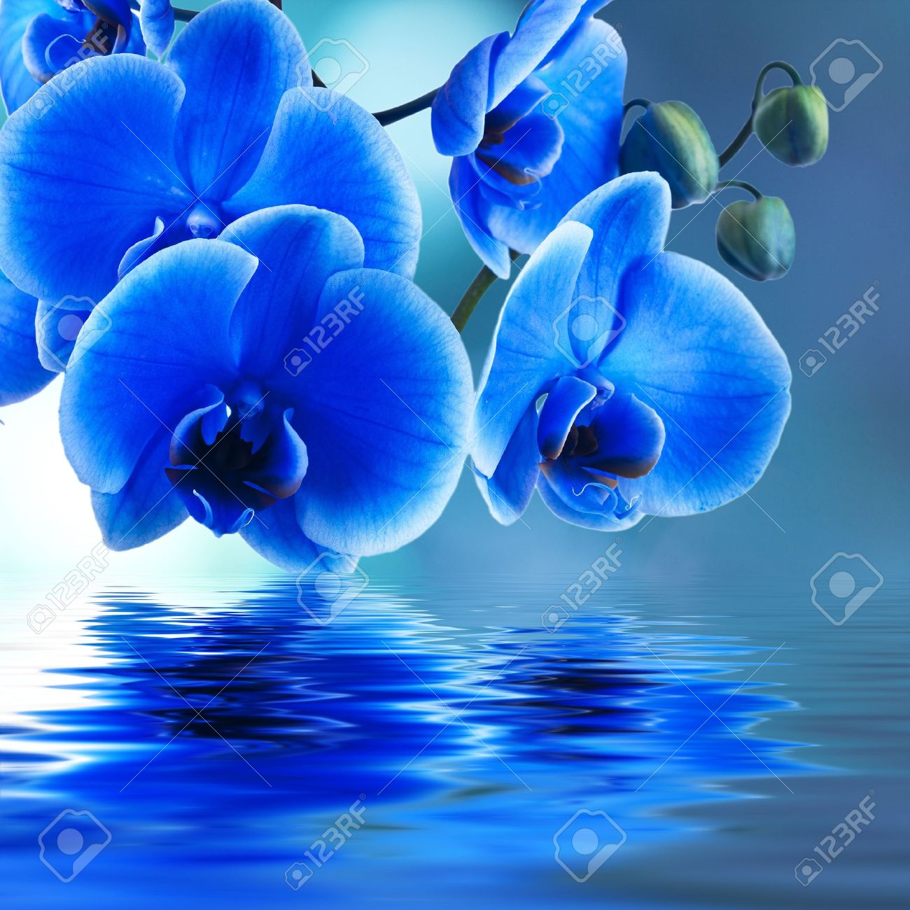 blue orchid background with reflection in water - 19986703