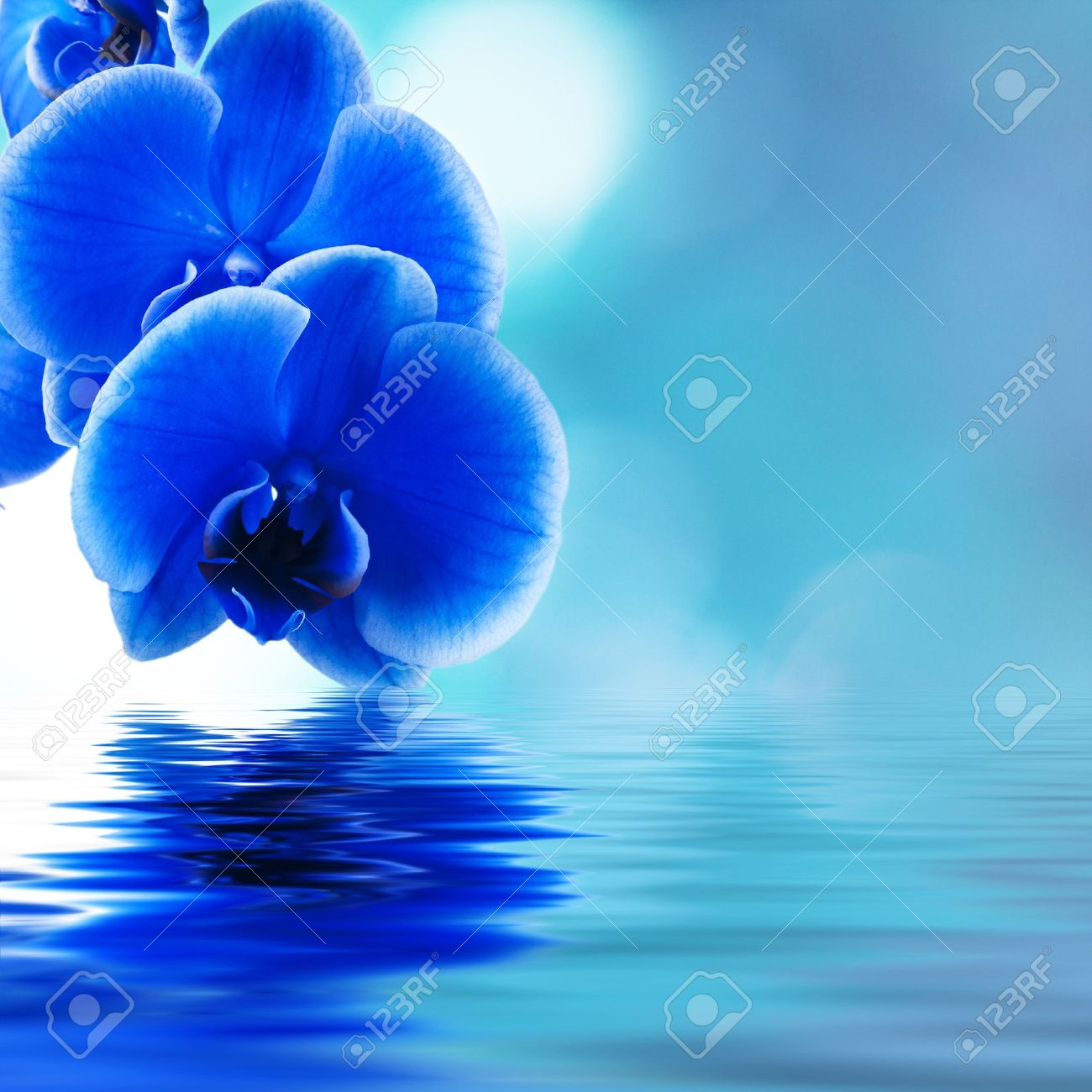 Blue Orchid Stock Photos Royalty Free Blue Orchid Images