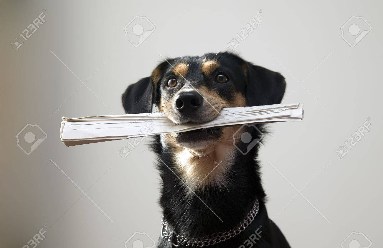 Nice black dog with metal chain is holding newspaper, grey background Stock Photo - 7973177