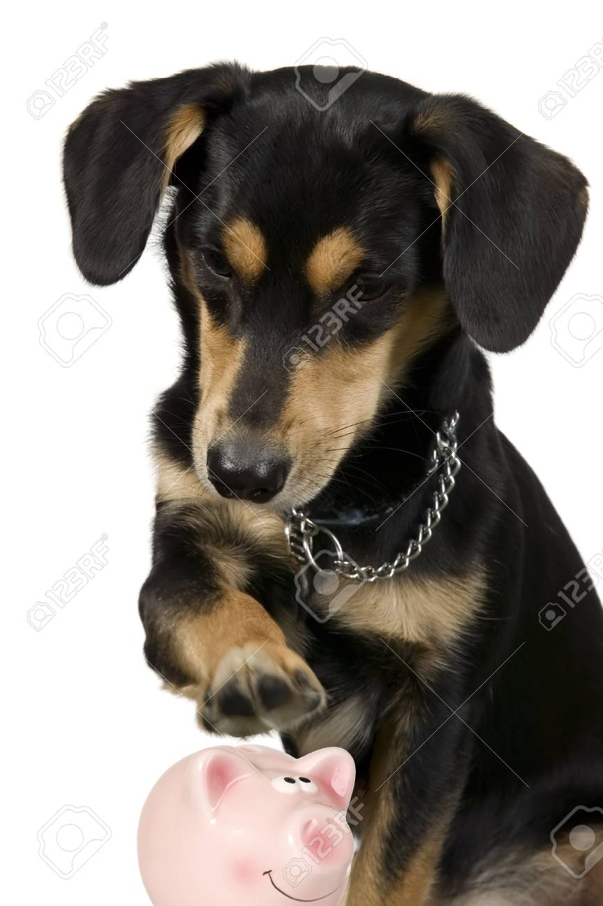Dog is sitting and holding paw over saving pig Stock Photo - 8595589