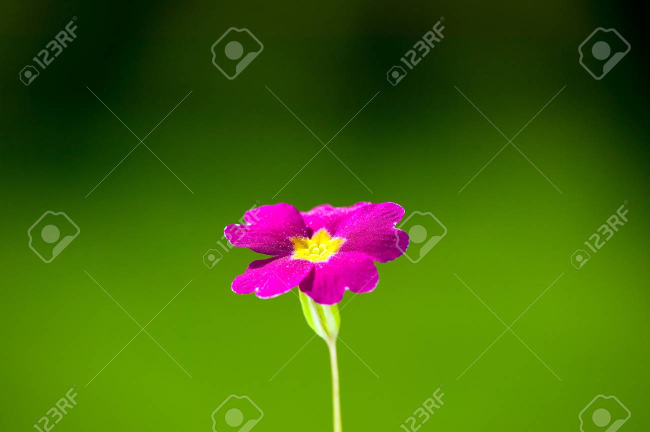 Pink flower with yellow center on green nature background stock pink flower with yellow center on green nature background stock photo 29206687 mightylinksfo
