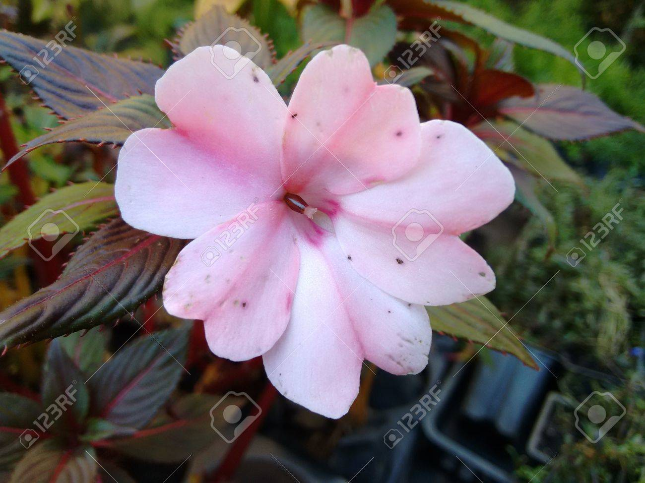 Impatiens flower light pink a plant of the family balsaminaceae impatiens flower light pink a plant of the family balsaminaceae known by the names mightylinksfo