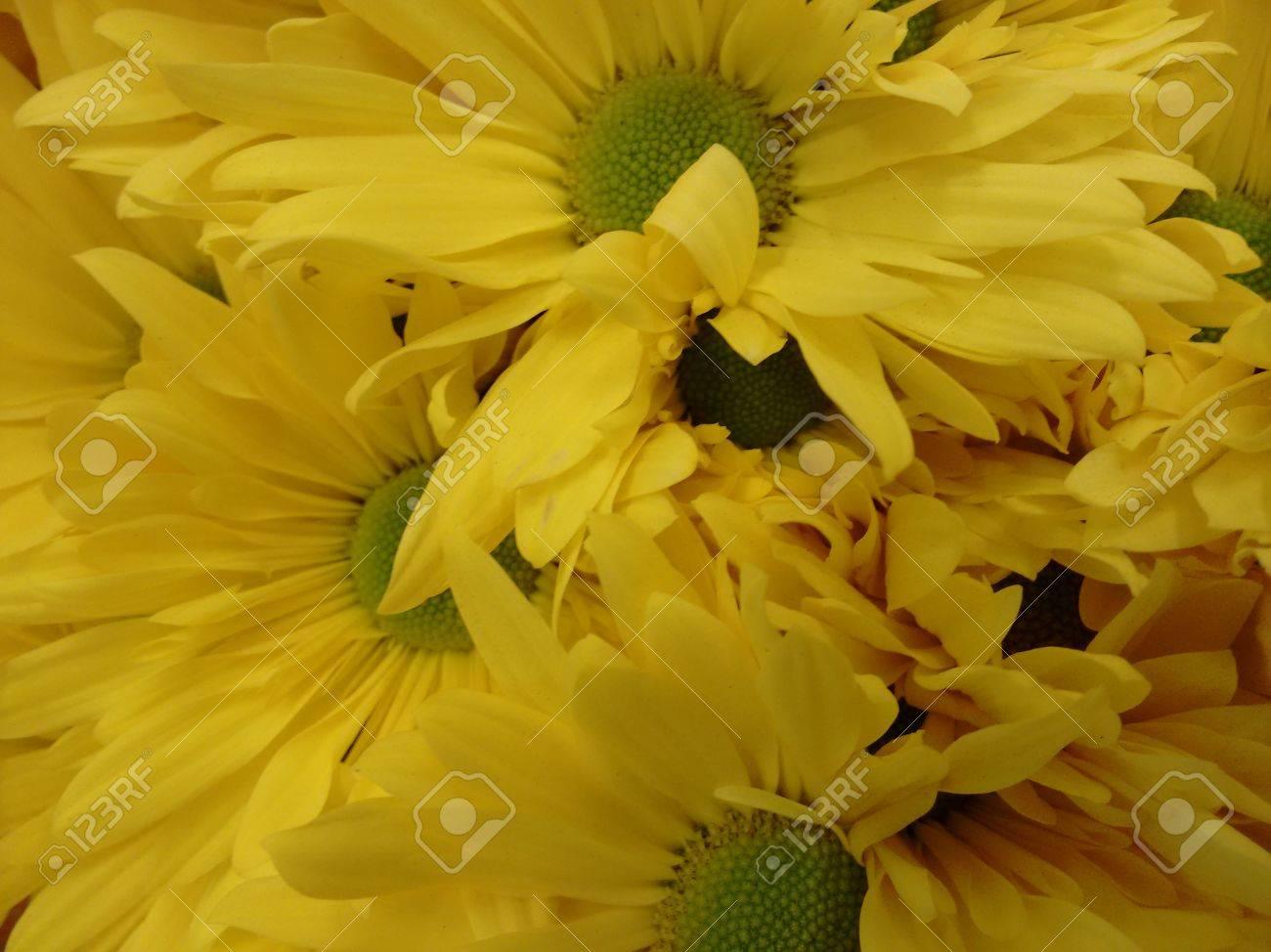 Fiori Gialli Varieta.Immagini Stock Fiore Di Chrysanths Giallo Il Crisantemo E