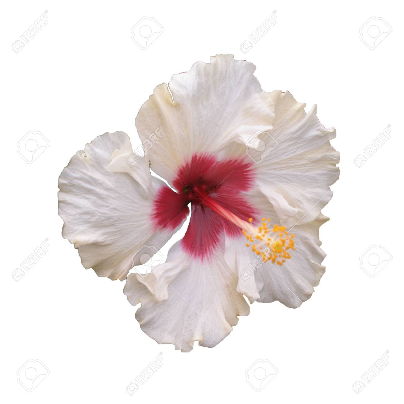 White Hibiscus Flower Hibiscus Sp Known Colloquially As Chinese