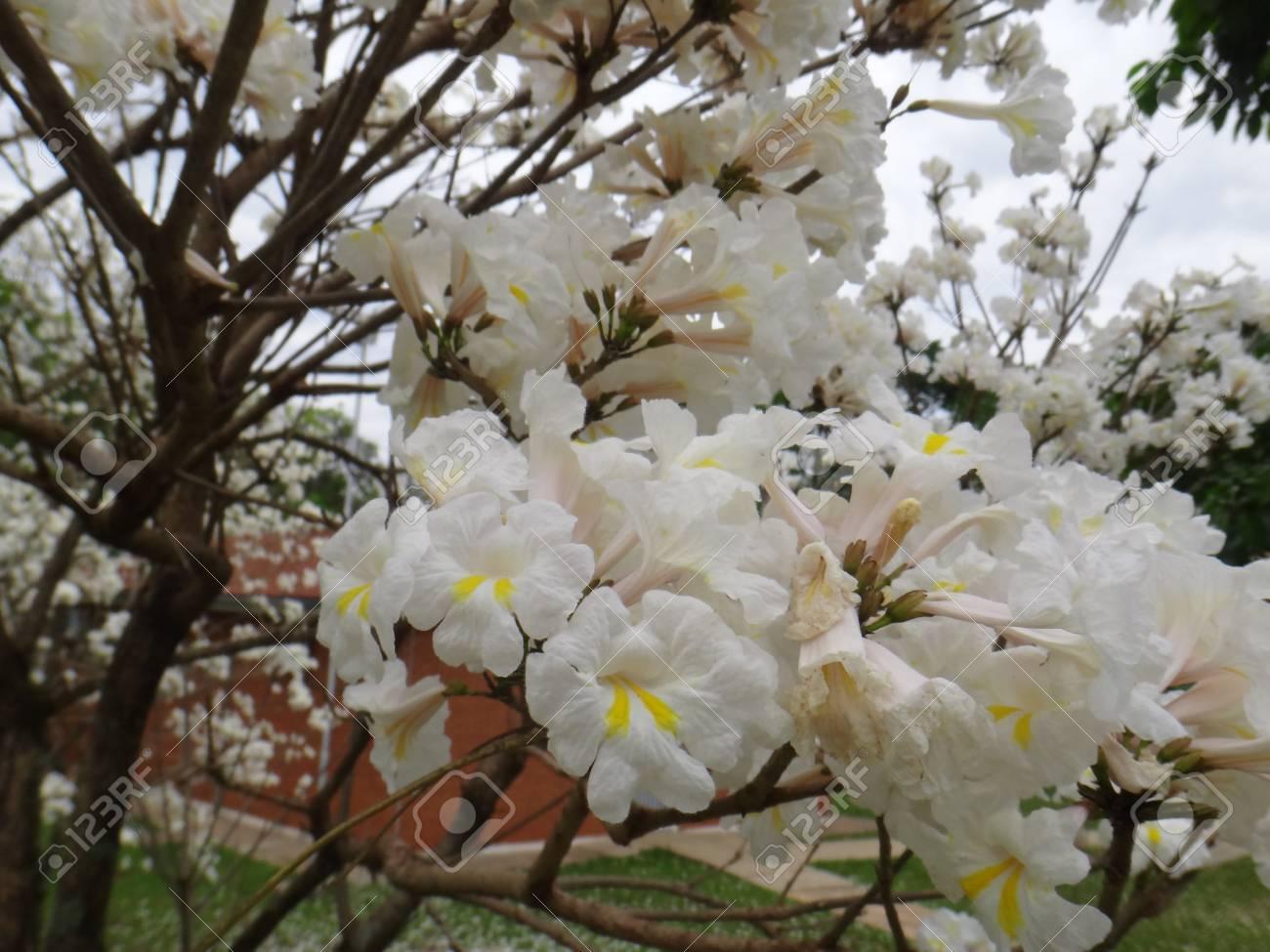 Branches white ipe tree white trumpet tree lapacho blanco branches white ipe tree white trumpet tree lapacho blanco or ip white mightylinksfo