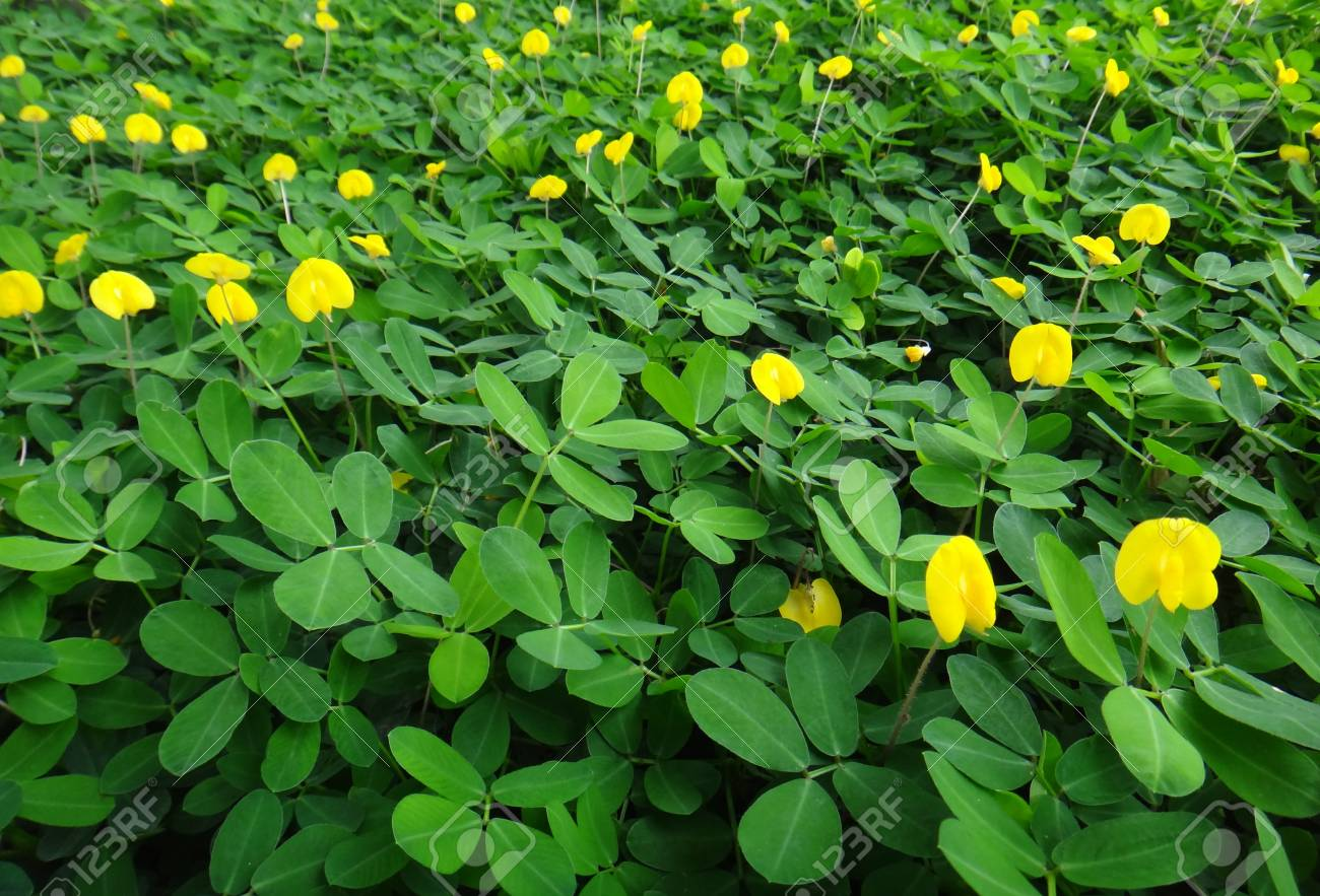 Plant Of The Genus Arachis With Yellow Flowers Creeping Peanut