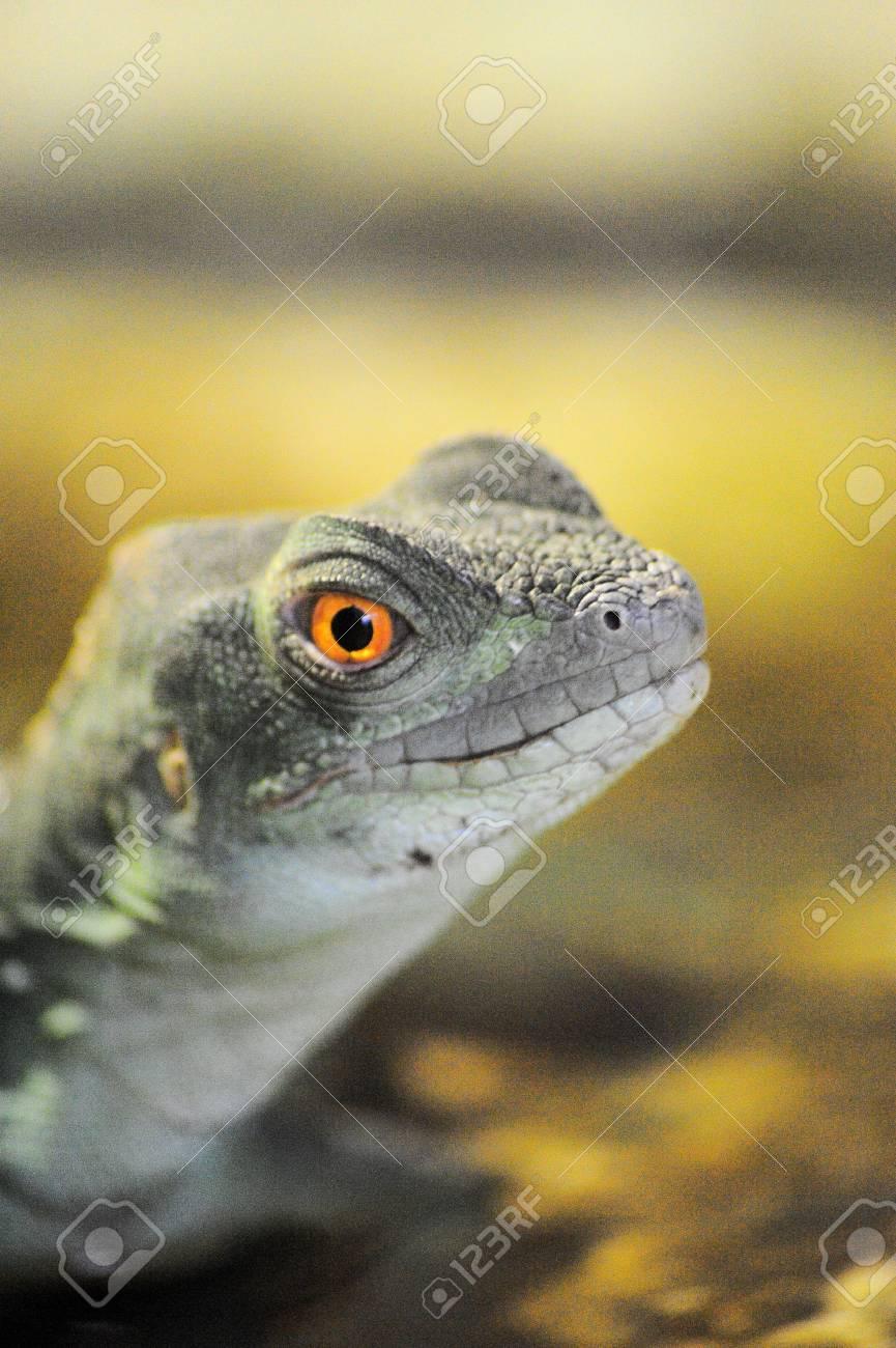 Dragon Lizard Stock Photo - 15385196