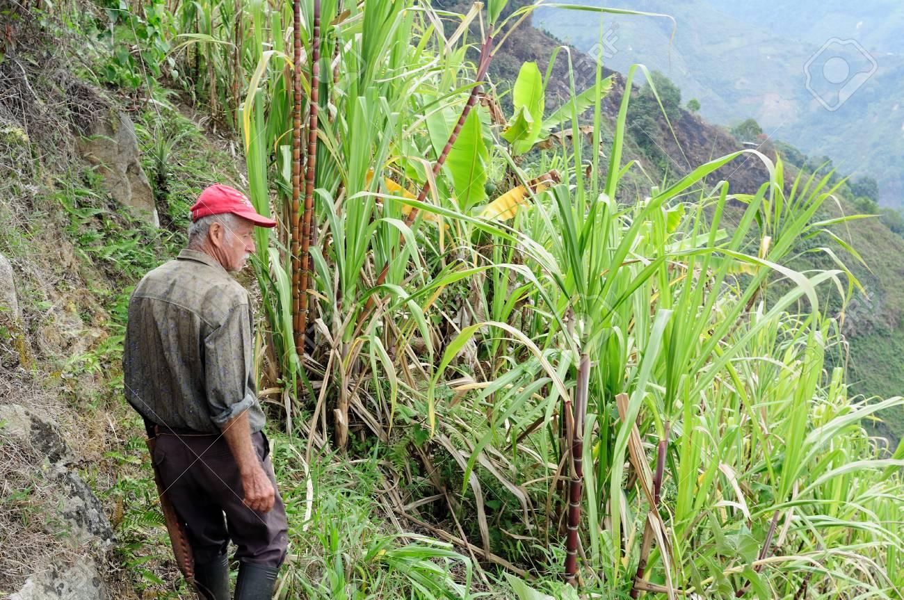 Sugarcane .Road - Aguas Calientes in RIVERA . Department of Huila. COLOMBIA Stock Photo - 15452901