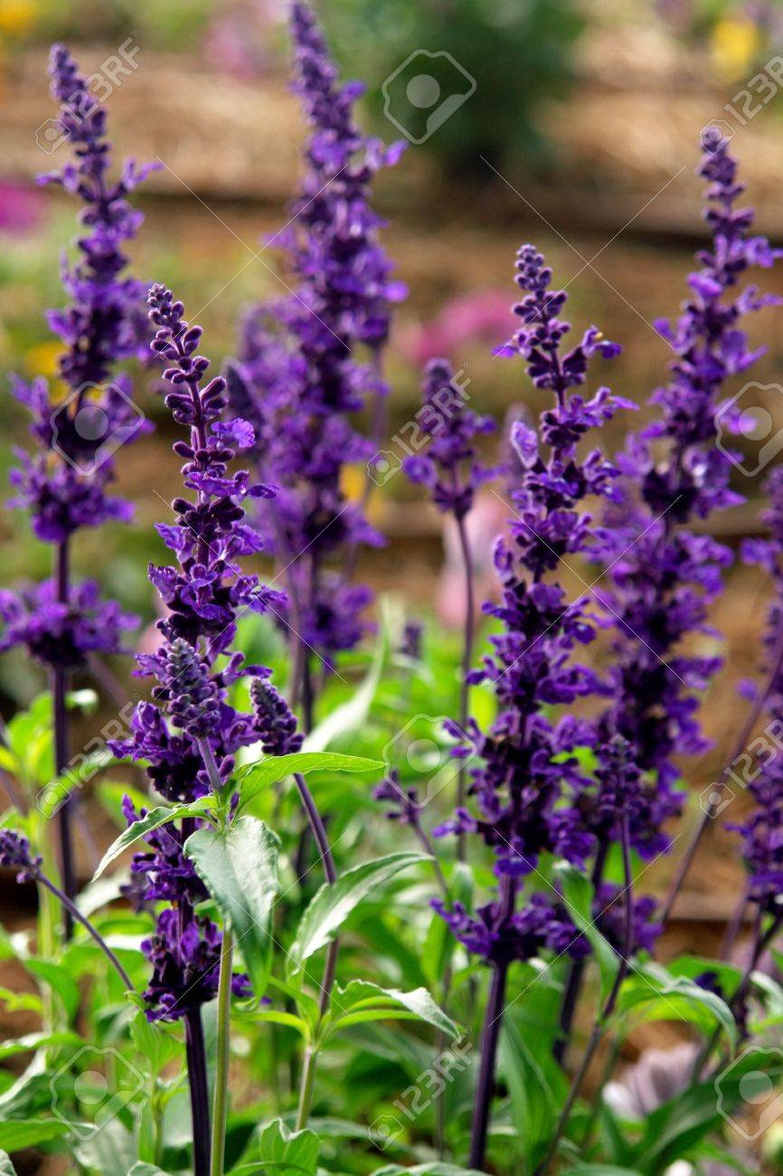 salvia farinacea flower detail medical and aromatic plant stock photo - Salvia Plant