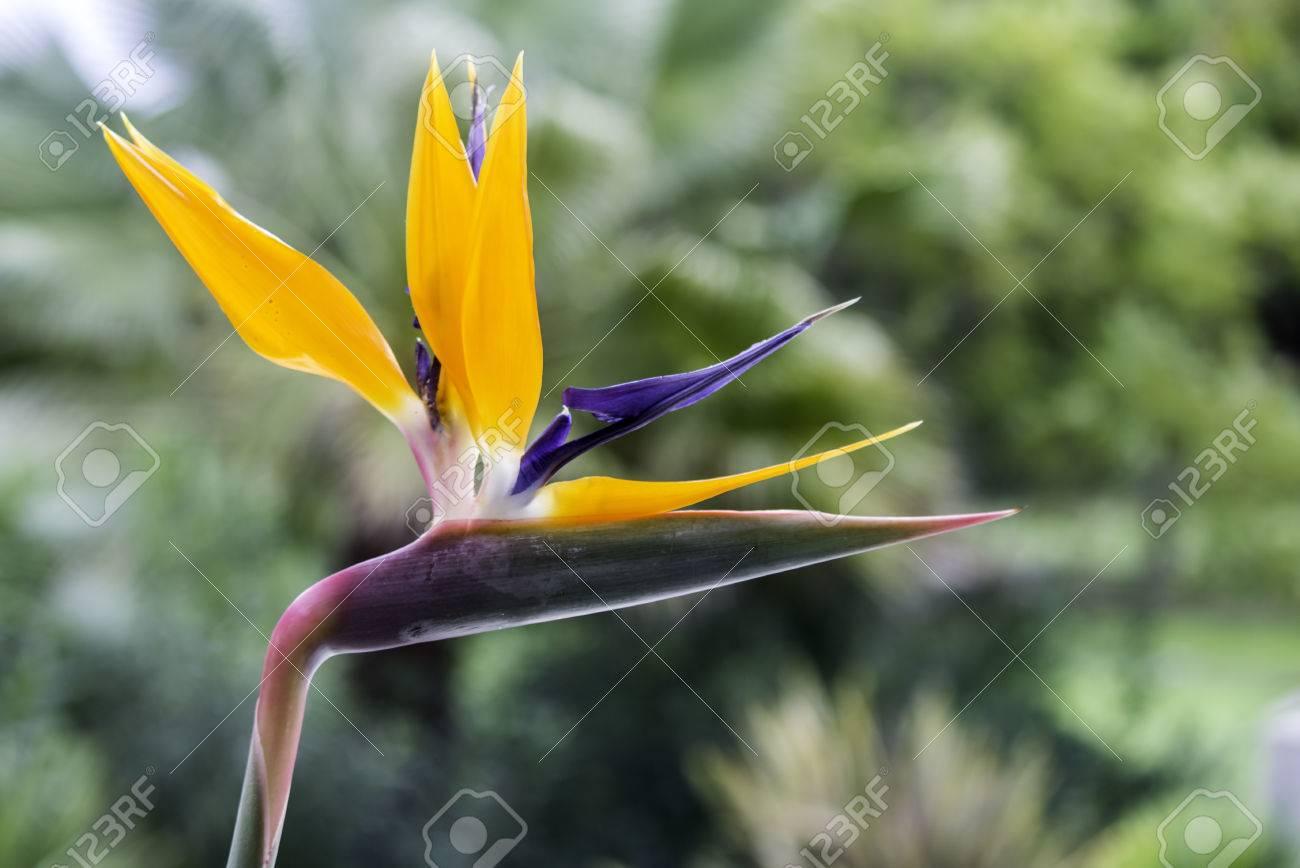 Strelitzia Reginae Est Une Plante A Fleurs Monocotyledones