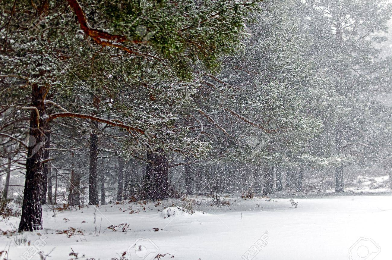 Snowstorm in the forest of pines a cold winter day Stock Photo - 17490636
