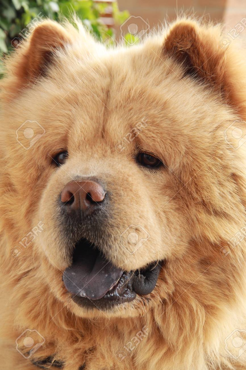 Chow Chow Dog Cane Di Razza Stock Photo Picture And Royalty Free