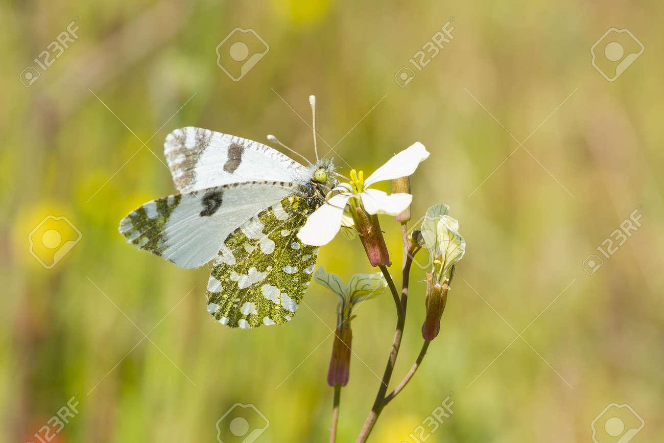 Euchloe crameri, Western dappled white, butterfly eating over the flower. - 151558141