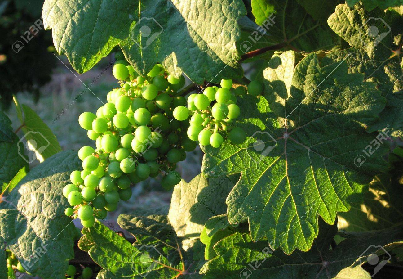 Close up of french young bunch grapes in Alsace region - France in july Stock Photo - 3366335