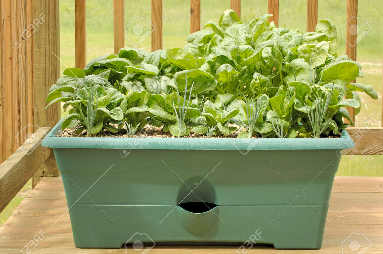 Container garden on a wood deck with shallots, lettuce, and spinach. Stock Photo - 960621