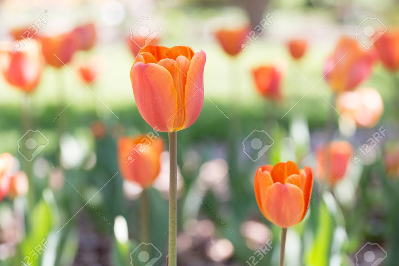 Beautiful orange tulips Stock Photo - 19736468